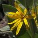 Wyethia mollis - Photo (c) Jim Morefield, algunos derechos reservados (CC BY)