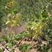 Fraxinus anomala - Photo (c) Jim Morefield, algunos derechos reservados (CC BY)