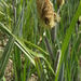 Carex riparia - Photo (c) Bas Kers (NL),  זכויות יוצרים חלקיות (CC BY-NC-SA)