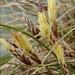 Carex humilis - Photo (c) Amadej Trnkoczy, algunos derechos reservados (CC BY-NC-SA)