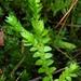 Selaginella apoda - Photo (c) Doug Goldman, algunos derechos reservados (CC BY-NC)