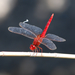 Scarlet Skimmer - Photo (c) 台灣水鳥研究群 彰化海岸保育行動聯盟, some rights reserved (CC BY-NC-SA)