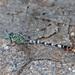 Libélula Serpiente Anillada - Photo (c) Jerry Oldenettel, algunos derechos reservados (CC BY-NC-SA)