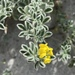 Coastal Medick - Photo (c) Muriel Bendel, some rights reserved (CC BY-NC)