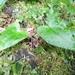 Asarum caudigerum - Photo (c) changlu, algunos derechos reservados (CC BY-NC)