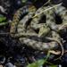 Serpiente de Dados - Photo (c) Alexandre Roux, algunos derechos reservados (CC BY-NC-SA)