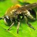 Microdon - Photo (c) John Klymko, μερικά δικαιώματα διατηρούνται (CC BY-NC)