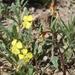 Camissoniopsis ignota - Photo (c) Laura Camp, algunos derechos reservados (CC BY-SA)