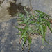 Lobed Spleenwort - Photo (c) Rob Curtis, some rights reserved (CC BY-NC-SA)