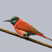 Northern Carmine Bee-Eater - Photo (c) Isidro Vila Verde, some rights reserved (CC BY-NC-SA)