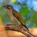 Lesser Honeyguide - Photo (c) Ian White, some rights reserved (CC BY-ND)