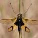 Libelloides longicornis - Photo (c) Kico Lopez, some rights reserved (CC BY-NC-SA)