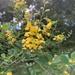 Goodia lotifolia - Photo (c) Jess Bettanin, μερικά δικαιώματα διατηρούνται (CC BY-NC)
