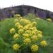Lomatium grayi - Photo (c) Thayne Tuason, algunos derechos reservados (CC BY-NC)