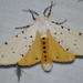 Ermine Moths - Photo (c) kent_miller, some rights reserved (CC BY-ND), uploaded by Kent Miller