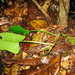 Philodendron ernestii - Photo (c) Ana Maria Benavides, some rights reserved (CC BY-NC)