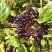 Viburnum treleasei - Photo (c) shd1998, algunos derechos reservados (CC BY-NC)