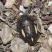 Odontoscelis fuliginosa - Photo (c) Pascal Dubois, algunos derechos reservados (CC BY-NC)