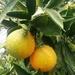 Naranja - Photo (c) agnieszkab, algunos derechos reservados (CC BY-NC)