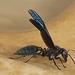 Synoeca surinama - Photo (c) neuzatb236, algunos derechos reservados (CC BY-NC)