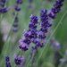 Common Lavender - Photo (c) epicnom, some rights reserved (CC BY-NC)