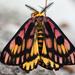 Hemileuca eglanterina - Photo (c) Ken-ichi Ueda, algunos derechos reservados (CC BY)