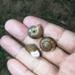 Bradybaena saurivonga - Photo (c) 刘光裕 Liu Guangyu, algunos derechos reservados (CC BY-NC)