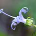 Campanula prenanthoides - Photo (c) David Hofmann, algunos derechos reservados (CC BY-NC-ND)
