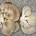 Summer Oyster Mushroom - Photo (c) Bob Richmond, some rights reserved (CC BY)