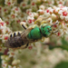 Honey-tailed Striped Sweat Bee - Photo (c) stonebird, some rights reserved (CC BY-NC-SA)