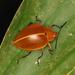 Ellipticus testaceus - Photo (c) Carlos Alexandre Raposo, μερικά δικαιώματα διατηρούνται (CC BY-NC)