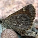 Bronze Roadside-Skipper - Photo (c) Paul Bedell, some rights reserved (CC BY-NC-SA), uploaded by pbedell