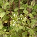 Cerastium junceum - Photo (c) Mirko Duimich, some rights reserved (CC BY)