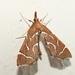 Panotima angularis - Photo (c) Colin Ralston, algunos derechos reservados (CC BY-NC)