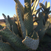 Cow's Tongue Pricklypear - Photo (c) Rebecca Stapornkul, some rights reserved (CC BY-NC)