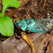 Odopoea insignifera - Photo (c) Nicolas Olejnik, algunos derechos reservados (CC BY-NC)