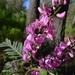 Indigofera australis - Photo (c) John Tann, osa oikeuksista pidätetään (CC BY)