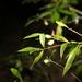 Persoonia iogyna - Photo (c) Greg Tasney, osa oikeuksista pidätetään (CC BY-SA)