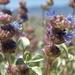 Salvia dorrii dorrii - Photo (c) Jim Morefield, μερικά δικαιώματα διατηρούνται (CC BY)