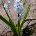 Striped Squill - Photo (c) Roberto Sindaco, some rights reserved (CC BY-NC-SA)