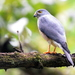 Chinese Sparrowhawk - Photo (c) Tan Kok Hui, some rights reserved (CC BY-NC)