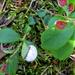Cowberry Redleaf - Photo (c) Kari Pihlaviita, some rights reserved (CC BY-NC)