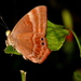 Abisara echerius - Photo (c) jeevan jose, algunos derechos reservados (CC BY-NC-SA)