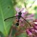 Mimocalla willistoni - Photo (c) James, algunos derechos reservados (CC BY-NC)
