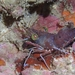 Cinetorhynchus hawaiiensis - Photo (c) Damaris Torres-Pulliza, μερικά δικαιώματα διατηρούνται (CC BY-NC-SA)