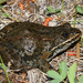 Columbia Spotted Frog - Photo (c) Diana-Terry Hibbitts, some rights reserved (CC BY-NC)