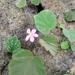 Begonia siccacaudata - Photo (c) Inama Ahmad, algunos derechos reservados (CC BY-NC)