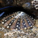 Ornate Limpet - Photo (c) Tony Wills, some rights reserved (CC BY-SA)