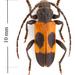 Semanotus ligneus - Photo (c) pierrickb, algunos derechos reservados (CC BY-NC)