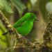 Tangara Esmeralda - Photo (c) Francesco Veronesi, algunos derechos reservados (CC BY-NC-SA)